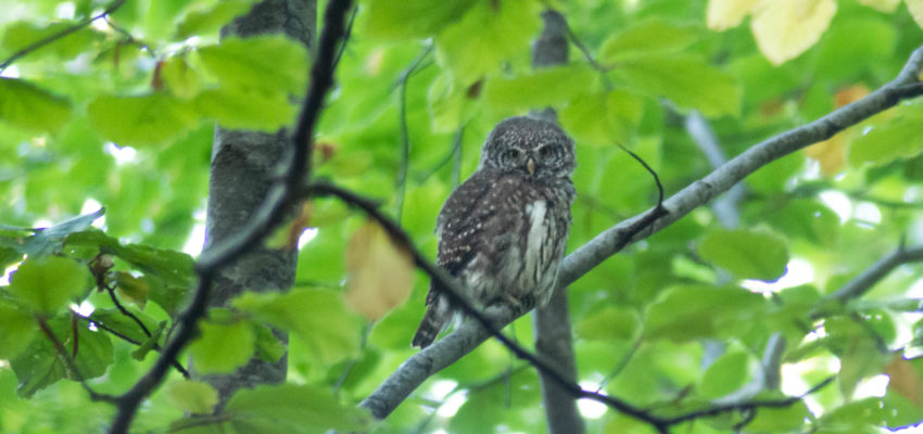 🇧🇬 [SUCCESS] 🌍 Pygmy Owl is Safe! Bulgarian court suspended the new plan of Pirin National Park